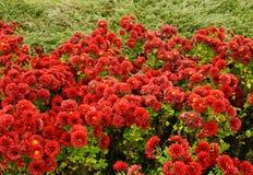 Viel rotes Blumenwachsen Stockfotografie