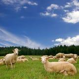 Viel Schafe auf der grünen Wiese Stockfotografie