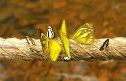 Viel schwarzer/weißer und gelber Schmetterling auf dem langen Seil Stockbild