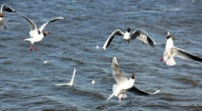 Viel Seemöwenfliegen im Seehintergrund Stockfoto