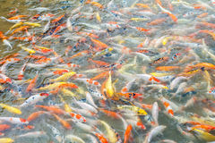 Viel von Karpfenfischen im Pool Stockbild