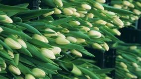 Viel von weißen Tulpen in den Plastikkästen stock video