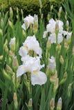 Viel Weiß-Iris Stockfotos