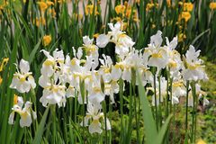 Viel Weiß-Iris Lizenzfreie Stockfotos