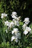 Viel Weiß-Iris Lizenzfreies Stockbild