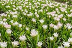 Viel weiße Blume mit grünem Blatt Stockbilder