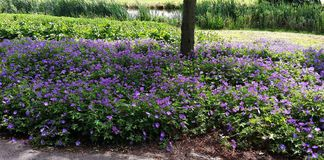 Geranium Rozanne, purple flowers in a park. Vield of Geranium Rozanne purple flowers in a park. Perennial purple flowering Geranium Rozanne is a popular garden Royalty Free Stock Images