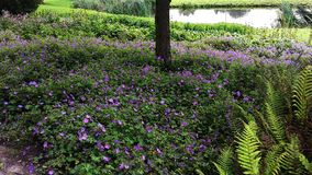 Geranium Rozanne, purple flowers in a park. Vield of Geranium Rozanne, purple flowers in a park. Perennial purple flowering Geranium Rozanne is a popular garden stock image