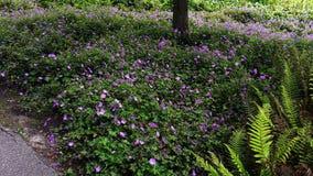 Geranium Rozanne, purple flowers in a park. Vield of Geranium Rozanne, purple flowers in a park. Perennial purple flowering Geranium Rozanne is a popular garden stock photography