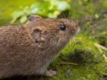 Vield vole (Microtus agrestis). Close up Royalty Free Stock Photos