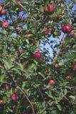 Viele Äpfel Stockbild
