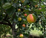 Viele Äpfel, die an den Niederlassungen im Garten hängen Lizenzfreie Stockfotografie