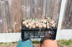 Viele äußerer Trockner der Zwiebeln auf einer Kastenkiste in der Sonne auf Töpfen stockbild