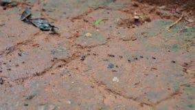 Viele Ameisen nacheinander laufen gelassen auf einer Bahn stock footage
