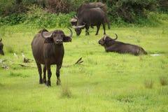 Viele Büffel in der Wiese Stockfotografie