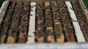 Viele Bienen, die an Bienenwaben mit Honigzeitlupe arbeiten stock video footage