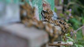 Viele Bienen nahe einem Eingang zum Bienenstock stock footage