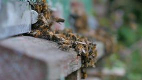 Viele Bienen nahe einem Eingang zum Bienenstock stock video footage