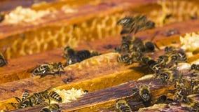 Viele Bienen sind im Bienenstock beschäftigt stock footage