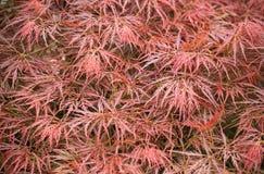 Viele Blätter von Acer palmatum im Herbst Stockbilder