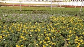 Viele bl?henden Blumen in den T?pfen, modernes warmes f?r wachsende Blumen viele bl?henden Blumen schlie?en oben stock video