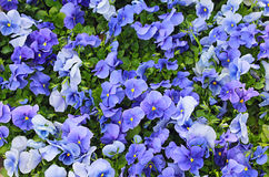 Blaue Veilchen im Garten Stockfotos