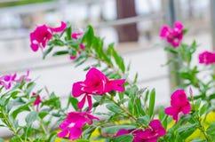 Viele Blumen, rosa Blumen Stockfotos