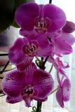 Viele Blumenblätter der purpurroten Orchidee stockfotografie