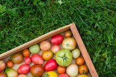 Viele bunten Tomaten mit unterschiedlichem Größenhintergrund stockfotos