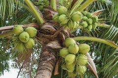 Viele der Kokosnuss auf die Oberseite lizenzfreies stockbild