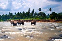 Viele Elefanten Stockfotos