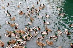 Viele Enten Stockfoto