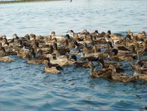 Viele Enten im Fluss stockfoto