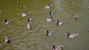 Viele Enten im Teich nahe dem Uferschwimmen und -wartung die Leute, zum sie zu werfen Nahrung Wenn Leute Zufuhrv?gel werfen, zu i stock video footage