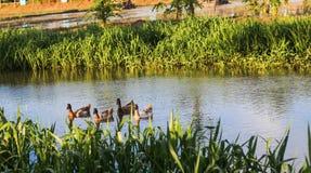 Viele Enten schwimmen glücklich Lizenzfreie Stockfotos