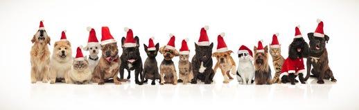 Viele entzückenden Haustiere der unterschiedlichen Zucht, die Sankt-Hüte trägt stockbilder