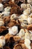 Viele farbigen neugeborenen Hühner Stockfotos