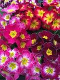 Viele farbigen Primelblumen im Blumenstrauß Lizenzfreies Stockfoto