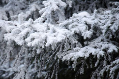 Viele Fichtenzweige im Schnee Stockbilder