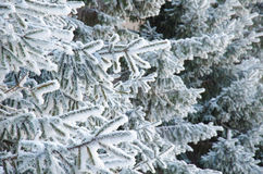 Viele Fichtenzweige im Schnee Stockbild