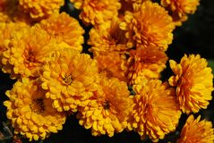 Viele flachen orange Chrysanthemen Stockbilder
