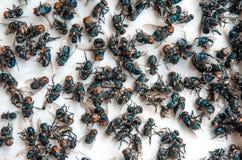 Viele fliegen und schmutziges Insekt und tote Fliege oder Aas der Fliege auf Whit Lizenzfreies Stockbild