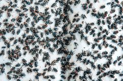 Viele fliegen und schmutziges Insekt und tote Fliege oder Aas der Fliege auf Whit Stockfoto