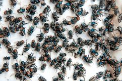 Viele fliegen und schmutziges Insekt und tote Fliege oder Aas der Fliege auf Whit Lizenzfreie Stockfotos