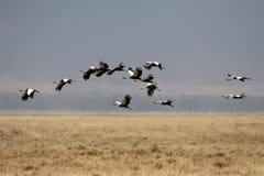 Viele Flugwesenvögel in der Afrika-Savanne Lizenzfreie Stockfotografie