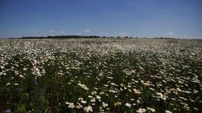 Viele Gänseblümchen in der Wiese auf Himmelhintergrund stock video