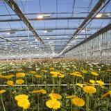 Viele Gelbblumen im niederländischen Gewächshaus Stockfotografie