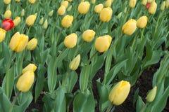 Viele gelbe Tulpen und Rot zwei eine Lizenzfreie Stockfotos