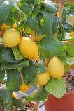 Viele gelben Zitronen auf dem Baum Stockfotografie