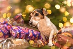 Viele Geschenke für ein entzückendes kleines Steckfassungsrussell-Terrierhündchen stockfoto